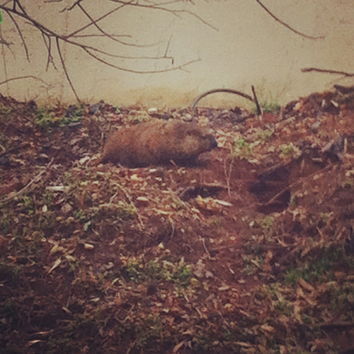 A strange beaver or creature of sorts spotted wandering around campus.