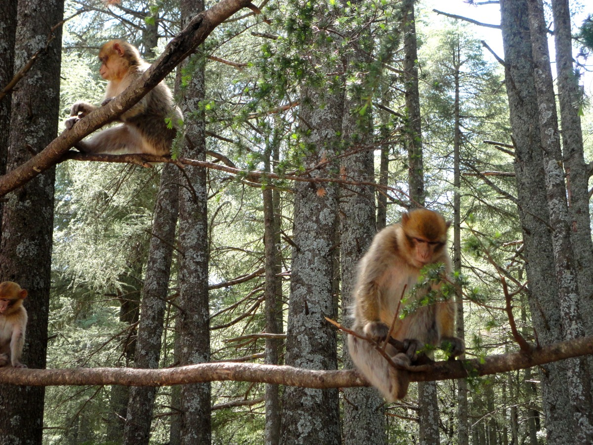 Monkeys, Cedars, and Berbers: Snapshots from a Middle Atlas Meander