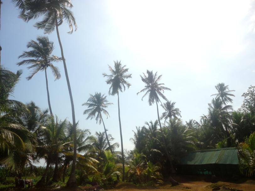 Palm trees at Arrecifes